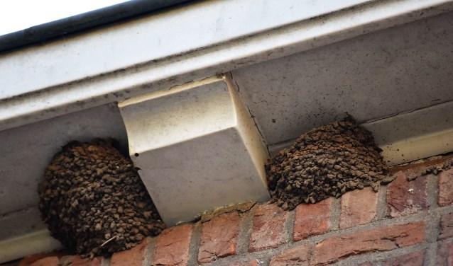 In Dussen onder de dakgoot bij de dokter zit inmiddels een groep met wel tien nestjes naast elkaar. foto: Maarten Vermeulen