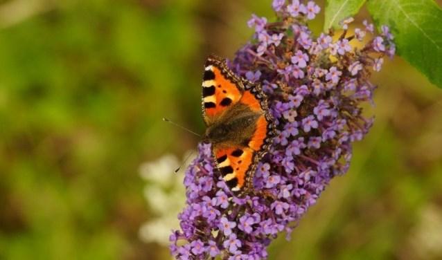 De Vlinderstichting verzamelt al jarenlang gegevens over vlinders, zodat ze beter beschermd kunnen worden. FOTO: Vlinderstichting.
