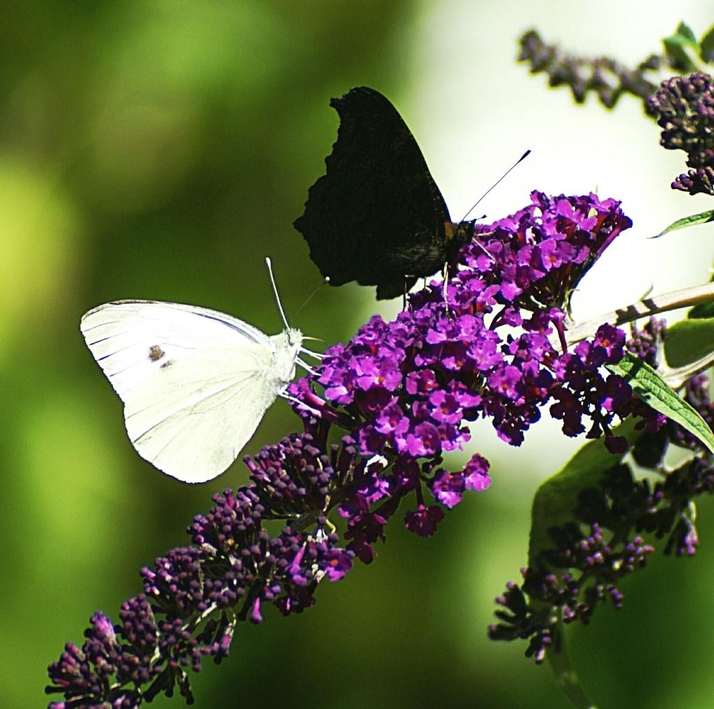 Koolwitje en dagpauwoog op de vlinderstruik.   © Persgroep