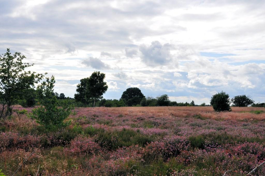 De mooie paarse heide. Foto: Staatsbosbeheer. Foto: Staatsbosbeheer © Persgroep