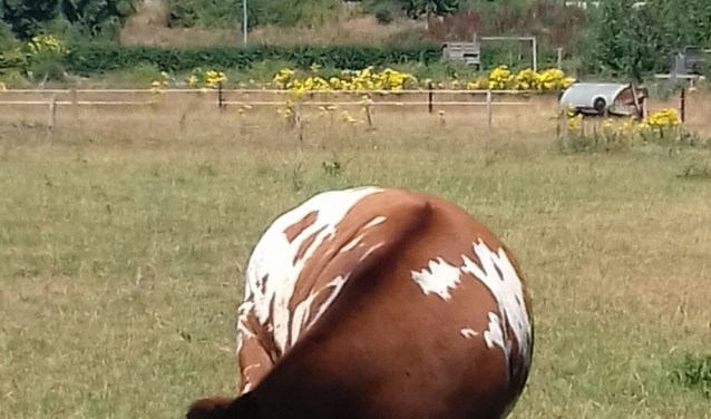 koe met kop in de schaduw
