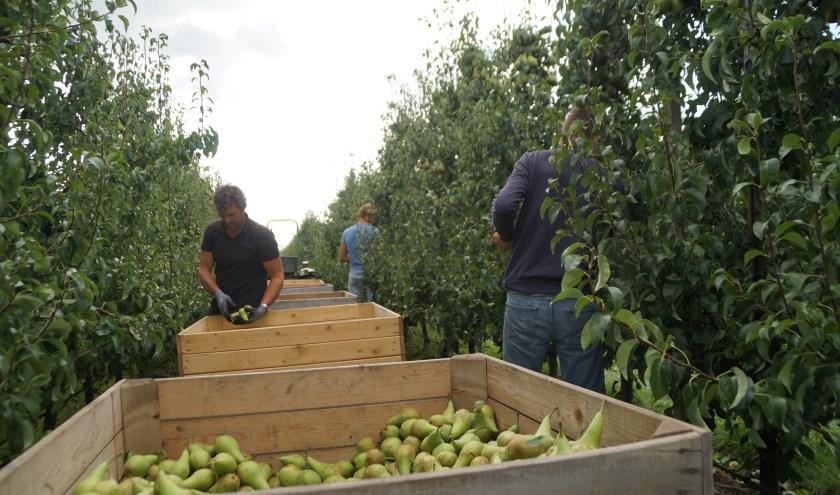 Marielle Pelle ging op bezoek bij fruitteeltbedrijf Vervoorn om te kijken of het fruit last heeft gehad van het warme en droge weer. De drie generaties, die daar nog altijd werkzaam zijn, stonden haar te woord.