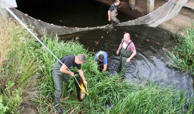 Een voor een worden de grote vissen uit het water van de Harreveldse Veengoot gevist, om de reddingsactie te doen slagen. Foto: Eveline Zuurbier
