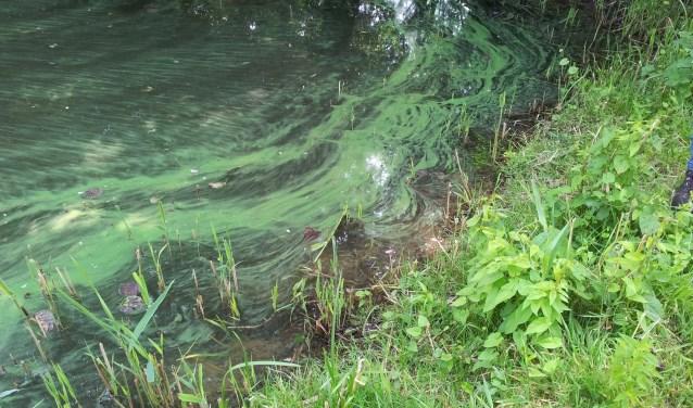 Als blauwalgen zich explosief vermenigvuldigen, spreken we van 'blauwalgenbloei'. Foto: Gemeente Heusden.