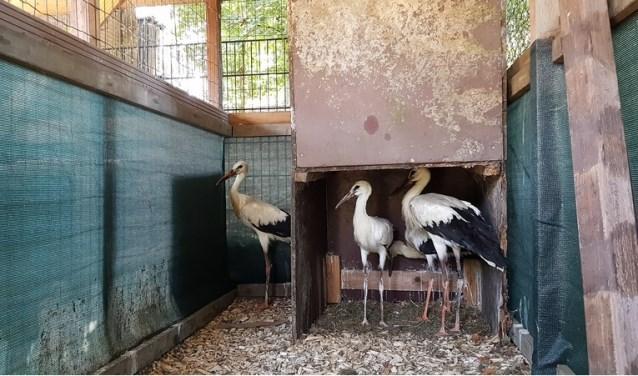 De drie geredde ooievaars maken het inmiddels goed. Ze verblijven nu in een ooievaarsopvang, in augustus mogen ze uitvliegen.