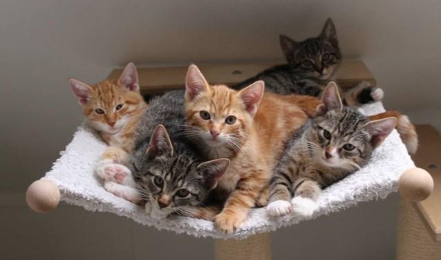 Op dit moment heeft Stichting Scheldekat 111 kittens die verzorgd worden en een nieuw plekje zoeken. FOTO: Stichting Scheldekat