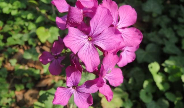 De plant is met haar paarse bloemen en haar zaaddozen die op munten lijken een ware lust voor het oog (Foto: BuitenZinnig).