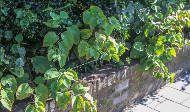 De beruchte plant bij bewoners aan de Prins Mauritslaan. Eigen foto.