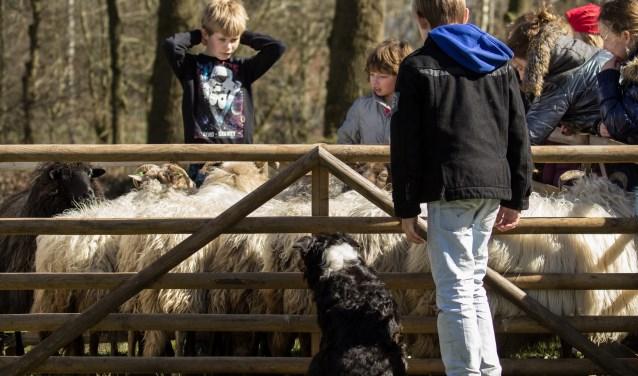 De schapenherder komt ook op Hof Espelo. Foto: Clifton Buitink