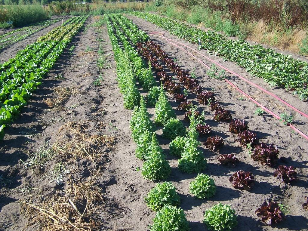De Bioakker met ernstige droogte problemen. Onregelmatige groei en doorschieters ondanks water geven.  Foto: Jan van Arragon © Persgroep