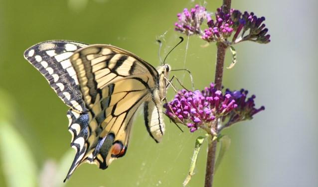 De grote verrassing kwam even geleden. Een koninginnenpage bezocht de bloemtrossen van de vlinderstruik.