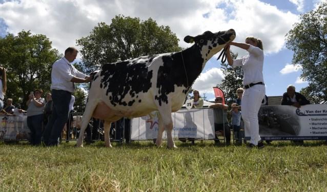 Jan Willem Hoftijzer domineerde de Fokveedag in Hellevoetsluis. Zijn Grana's Pie is het komende jaar de mooiste koe van de Zuid-Hollandse eilanden. (Foto: Gertjan Zevenbergen/Fokveedag Hellevoetsluis)