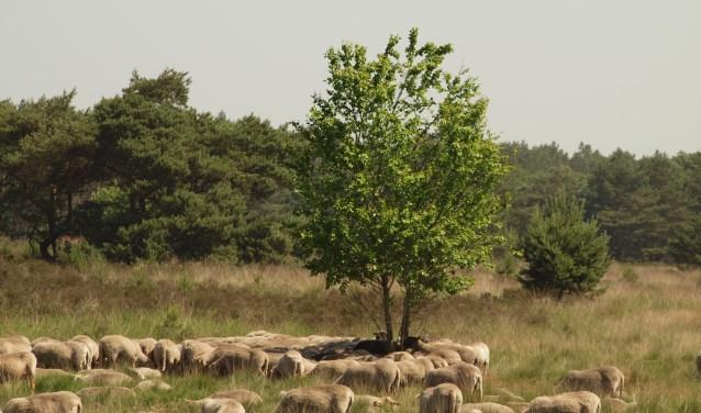 Schapen op de Groote Heide. Foto: Evert Meijs