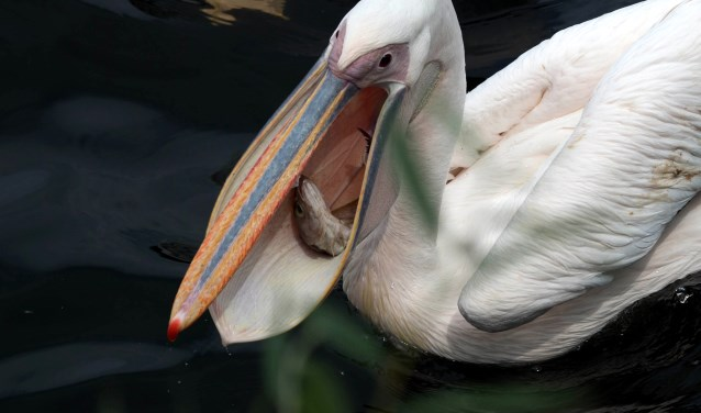 Wist je dat de oudste roze pelikaan in Avifauna al 60 jaar is!