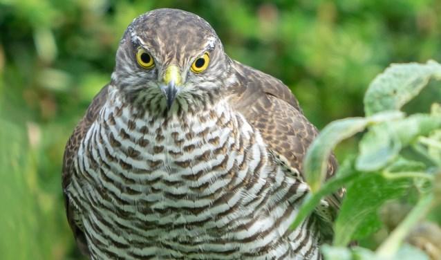 Duidelijk een vogel met een sterke persoonlijkheid, getuige haar imponerende uitstraling van kracht en zelfverzekerdheid.