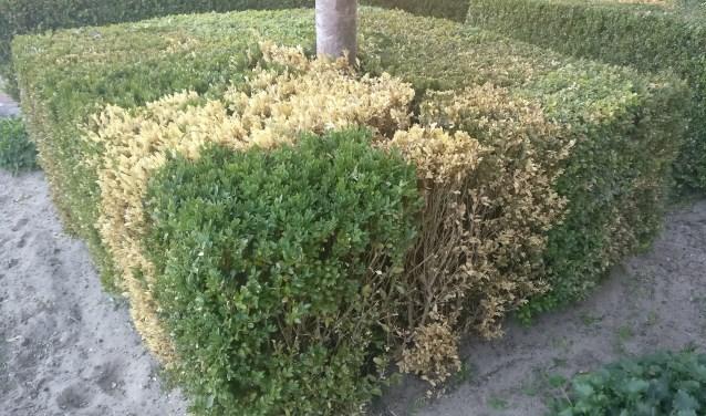 Buxusplanten zijn geliefd, maar door de buxusmot zijn er in Almelo nog nauwelijks planten die niet zijn aangetast