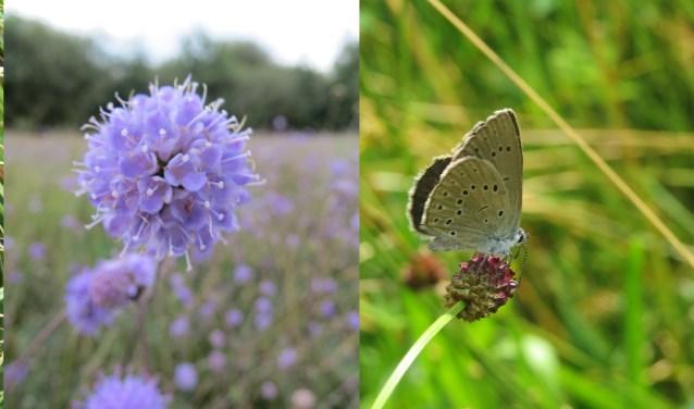 Het Bossche Broek biedt een levensomgeving voor bijzondere flora en fauna, zoals de moerassprinkhaan (links), de blauwe knoop (midden) en het pimpernelblauwtje (rechts).
