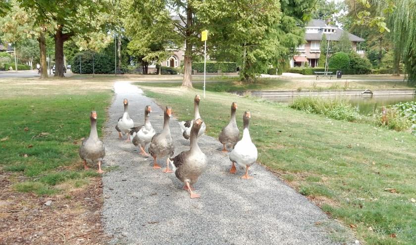 Deze ganzen brengen levendigheid op het Kersbergenplein. Veel ouders en kinderen gaan er regelmatig naar toe om ze te voeren. Dit is niet nodig. Op het grasveld om de vijver is voldoende gras voor dit achttal.