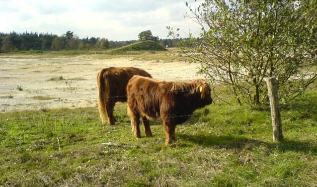 Tijdens de wandeling is er de kans om diverse runderen te spotten. (foto: persfoto)