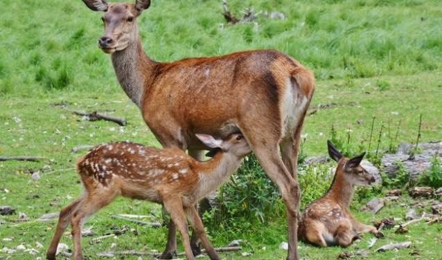 Het ree is een van de grotere zoogdieren in de Kempen. FOTO: Rien de Schipper