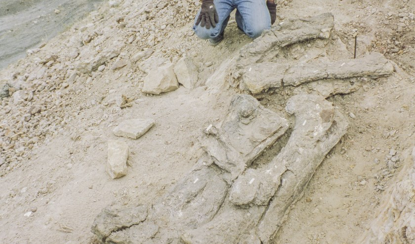 De Diplodocus is een bijzondere aanwinst, volgens het Oertijdmuseum. Voor het eerst is er zo'n skelet vast in Nederland te zien.
