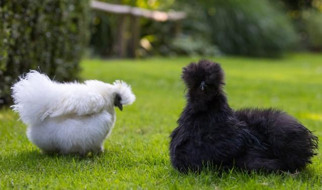 Wist je dat: de huid en het vlees van zijdehoenders heel bijzonder donkerpaars/blauw is gekleurd?