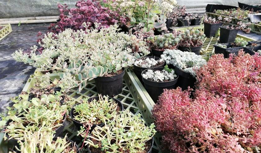 Sedum laat zich makkelijk kweken en we vermeerderen onze plantjes  door hen te scheuren en opnieuw te planten. (foto: Buitenzinnig)