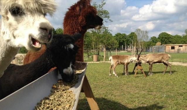 Lama's heten ouderen welkom tijdens dagje Hof van Eckberge