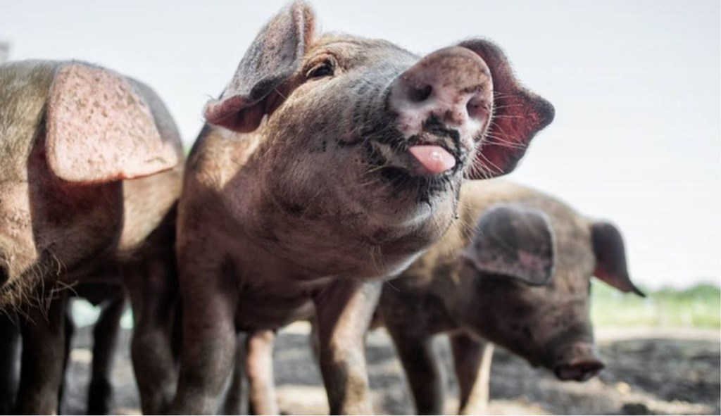 Varkenshouders, provincie en het ministerie van landbouw maken zich zorgen over de uitbraak van Afrikaanse varkenspest in België.