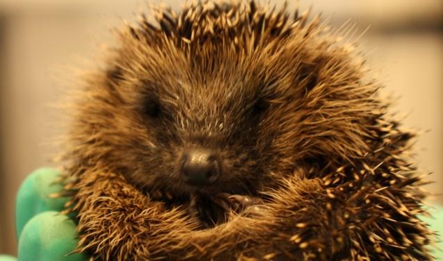 De lichtste dieren slapen bij vrijwilligers, zodat ze extra voedmomenten hebben. (foto: Nanda van Heteren)