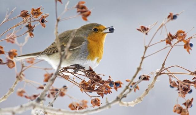 De Nationale Tuinvogeltelling vindt plaats op vrijdag 25 tot en met zondag 27 januari. Foto: Vogelbescherming Nederland/Agami, Alain Ghignone