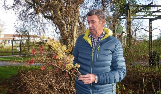 Boskoper Wim van der Werf heeft al zijn leven lang een passie voor de toverhazelaar. Volgende week houdt hij een expositie, mét lezingen, in het Boomkwekerijmuseum.