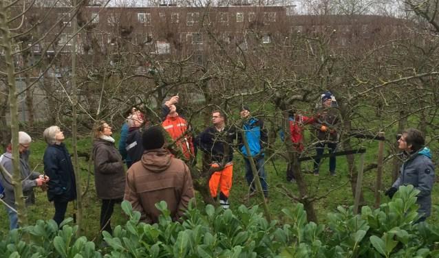 Perensnoei Hof van Seghwaert komt er weer aan! Oude bomen komen weer in topconditie. In 2018 resulteerde dit in een recordoogst en heerlijk perensap. Proost op het nieuwe jaar. Foto: Suzanne Verboon.
