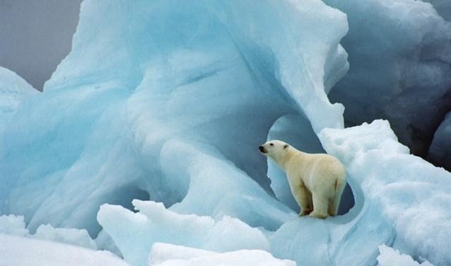 De ijsbeer is het lievelingsdier van Van Passel, die tijdens zijn reizen alleen maar dieren en natuur fotografeert. Foto: Wim van Passel.