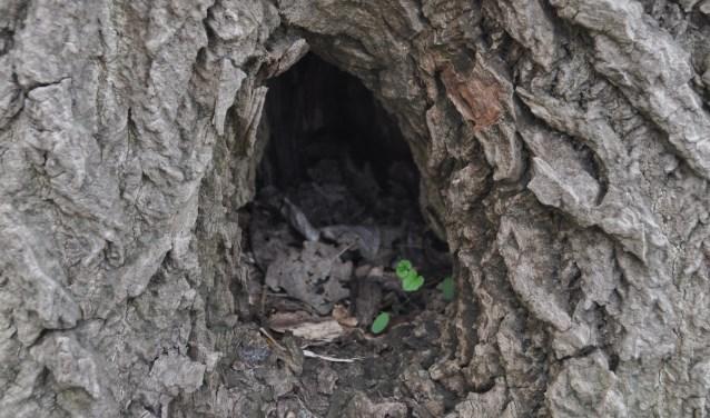 Boomholte oude boom