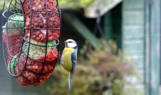 De pimpelmees is een behendige acrobaat in de wintertuin. FOTO: Rien de Schipper.