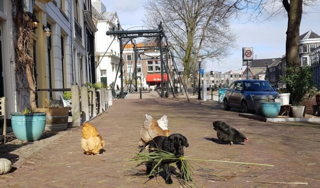 Pup Senna & kippen Lange Haven