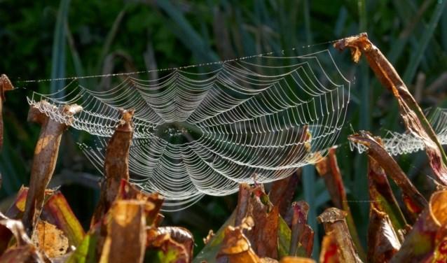In m'n tuin woof een spin zijn web tussen de bekers van een Sarracenia, een insectenetende plant uit Amerika. Hoe zal het ze in de toekomst vergaan?