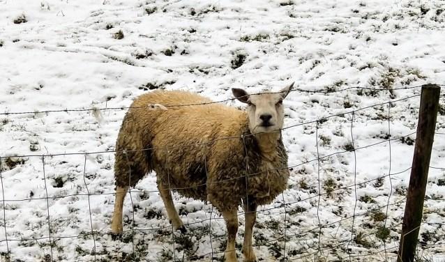 Foto van de week, schaapje in de sneeuw. Foto: Martin Groenenboom