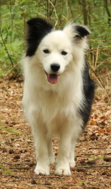 Pien de border collie is genomineerd als Mooiste Hond van Nederland