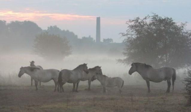 Konikpaarden in de Blauwe Kamer Rhenen