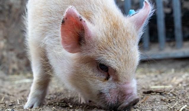 Willem zoekt een plek waar hij een heerlijk varkensleven kan leiden, liefst samen met een of meerdere, varkens.