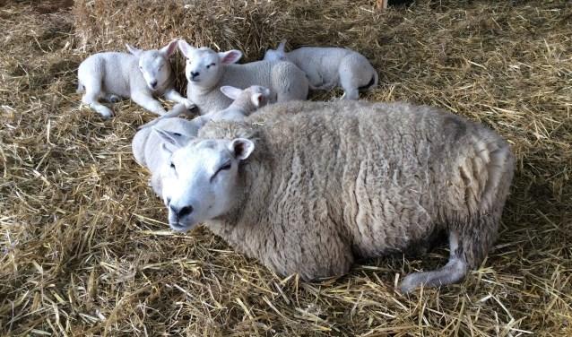 Er worden in de komende weken nog enkele tientallen jonge schaapjes verwacht.
