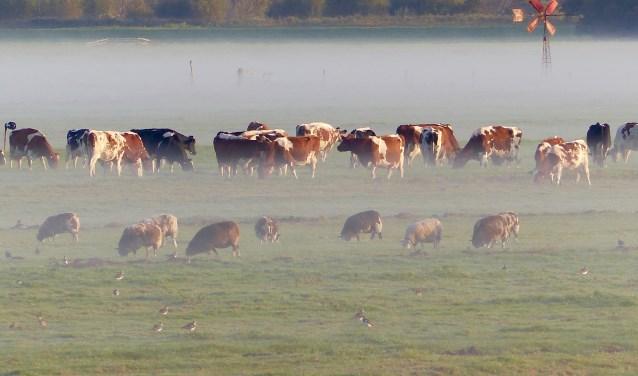 Kodeien en schapen in de ochtendmist in Commandeurspolder (Maasland)