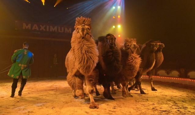 Een van de hoogtepunten: een vlotte vrijheidsdressuur met zes reusachtige Siberische kamelen in oriëntaalse sfeer.