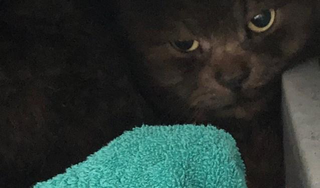 Gevonden kat Sperwerhof Ermelo