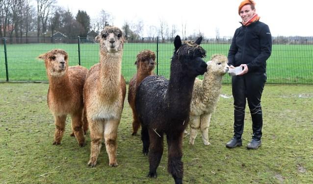 Wilma Rougoor met de alpaca's van de alpcacaranch in Voorst. (Foto: Roel Kleinpenning)