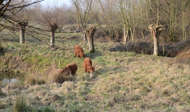 Sinds vorige week lopen drie jonge Schotse Hooglanders in een van de weiden langs de Golepoldersedijk.