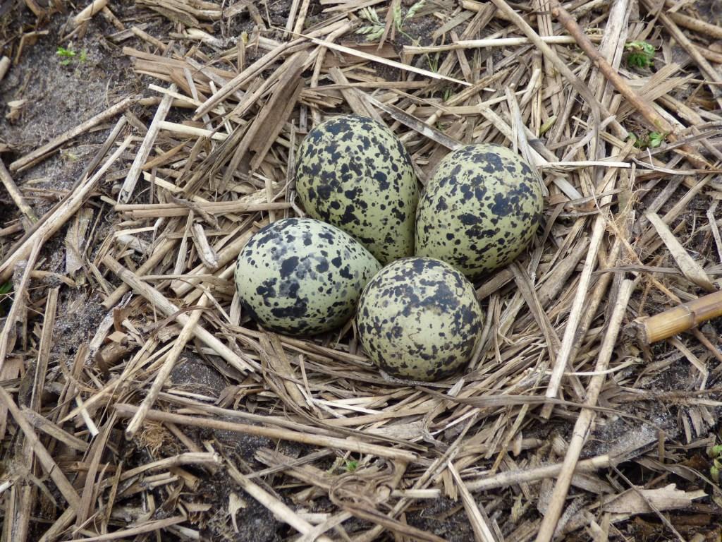 Het fraai met stro beklede kievitsnest met vier eieren. Foto: Henk van Paassen © Persgroep