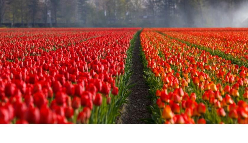 Uit je tulpenbol: zondag 24 maart.